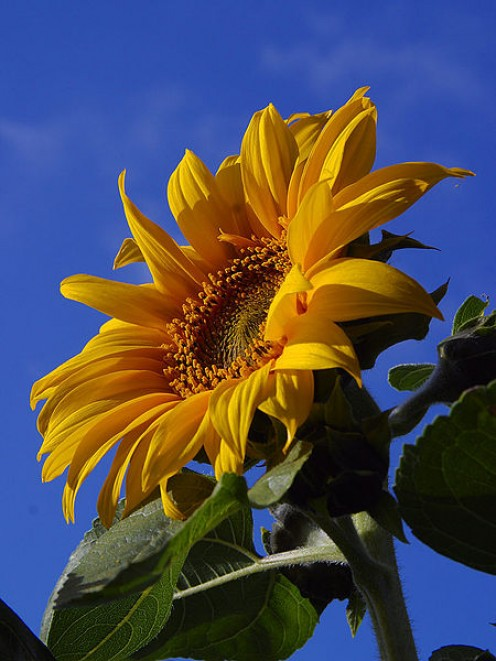A sunflower (Helianthus annuus) completely exposed