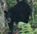 That black bear that visited our campsite...