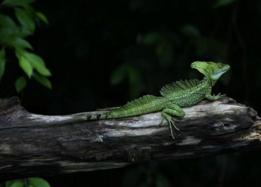 Basilicus plumifrons lizard.