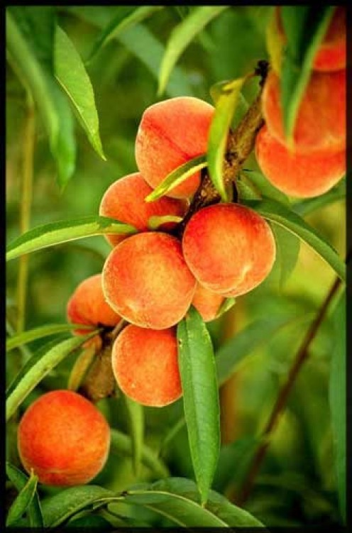Peaches Still on the Tree