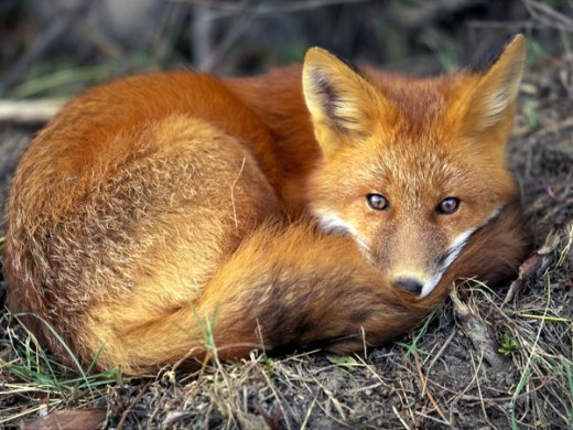 http://animals.nationalgeographic.com/animals/mammals/red-fox/