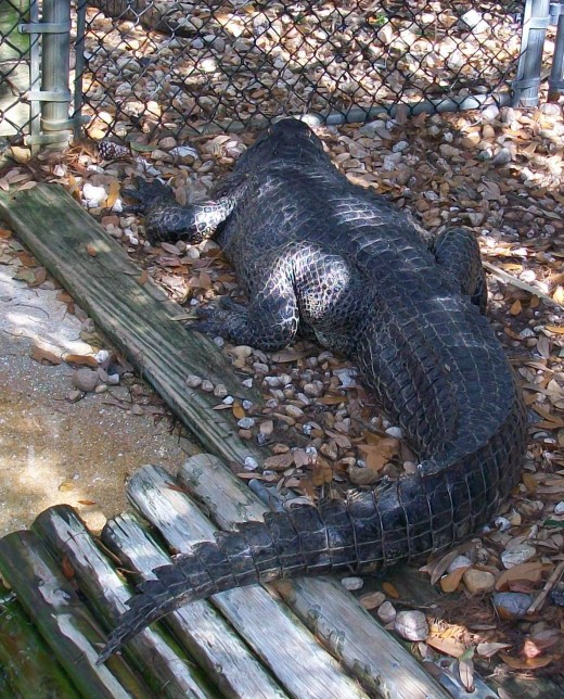 An alligator just the way we like them in Florida — behind a sturdy fence.