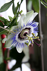 Passion flower from elley (Linda) Source: flickr.com