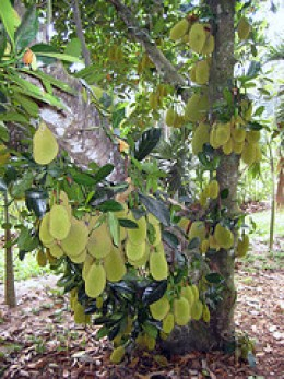 Jack fruit tree with sticky sap used by farmer to trap the mouse deer