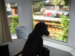 Black poodle watching the world go by.