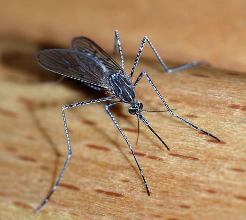 Mosquito - A female mosquito of the Culicidae family (Culiseta longiareolata). Size: about 10mm length
