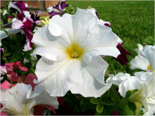 White Petunia Flower