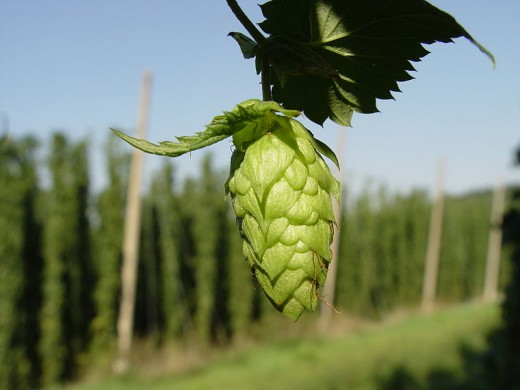 A single Hop in Hallertau, one site of Noble Hops.  Author: Luckystarr, Wikimedia Commons, CC BY-SA 3.0.