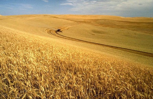 Wheat Field in the US. Source: Wikimedia Commons, public domain.