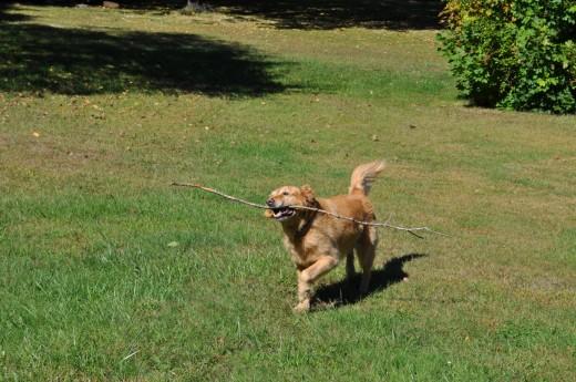 Buddy, the Golden Retriever