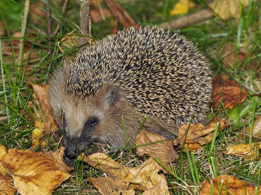 The European Hedgehog