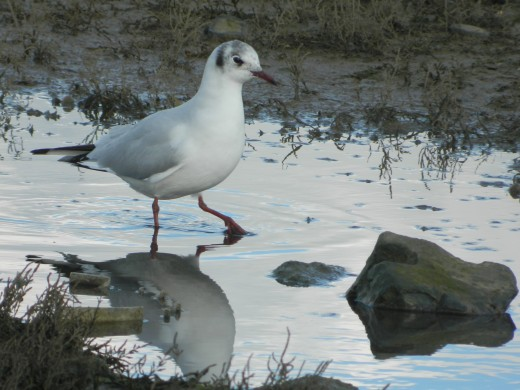 Black Headed Gull Stepping Through Puddle