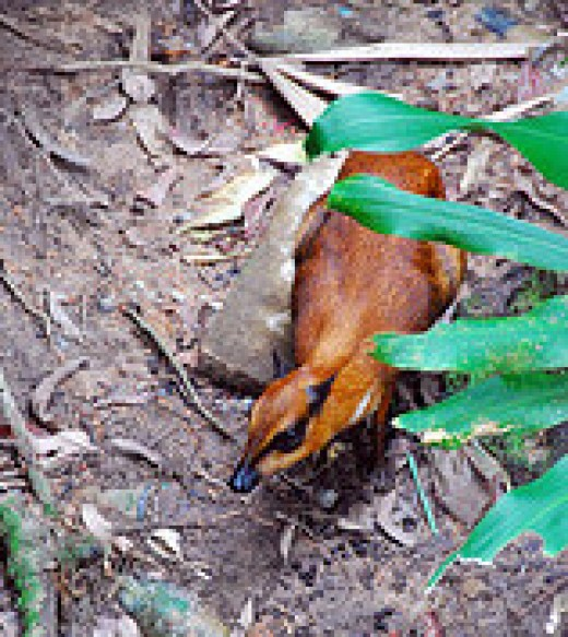 A hungry mouse deer or sang kancil, as we called them.