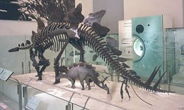 Stegosaurus skeleton mounted in The American Museum Of Natural History in New York City