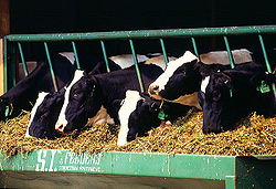 Milk produced conventionally by a herd of Holstein cows in captivity.