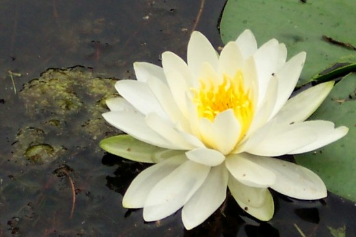 Lily in my Pond