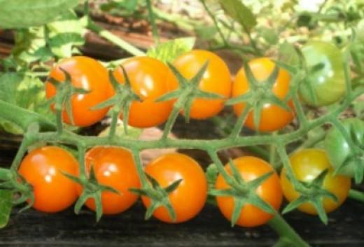 Sungold cherry tomato F-1 first generation hybrid.