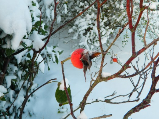 Rosehip against the snow