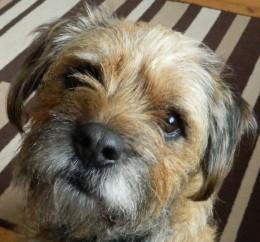 Barney our Border Terrier