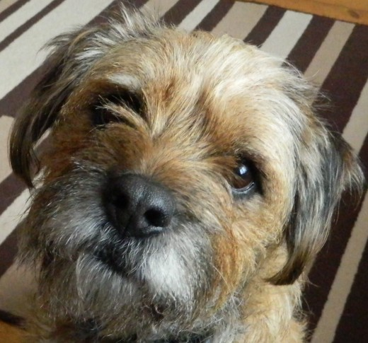 Barney our Border Terrier