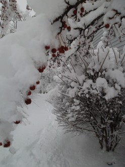 winter berries branch