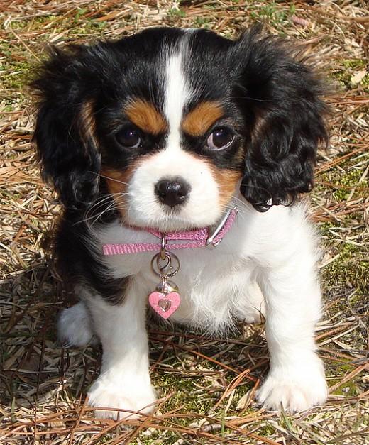 Cavalier Kin Charles Puppy