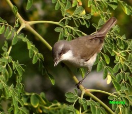 Lesser White Throat