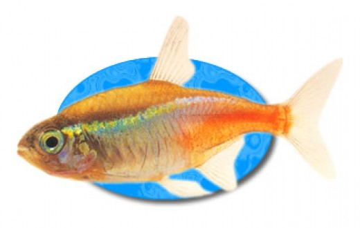 The Neon Tetra is brilliant colored freshwater aquarium fish that is easily the most popular in the hobby.