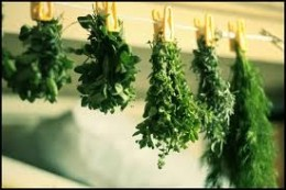 bunches of herbs drying