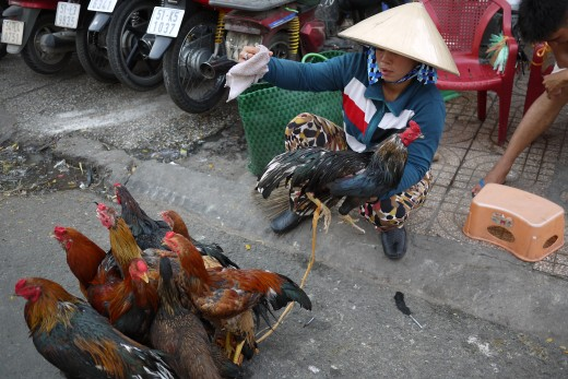 Roosters on the streets. Quite common throughout HCMC.