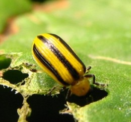Cucumber beetles are a nasty garden pest but you can get rid of them without chemicals