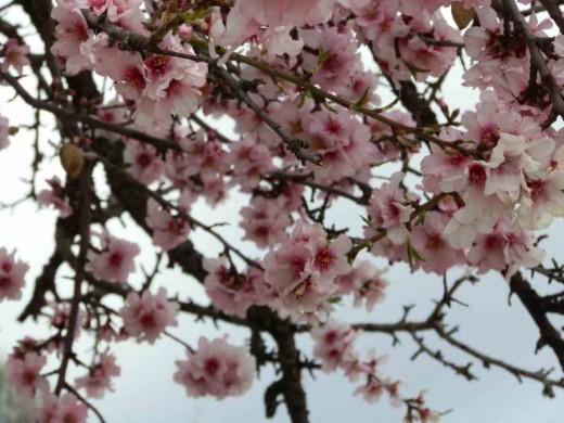 pink almond tree flowers (bitter almonds)