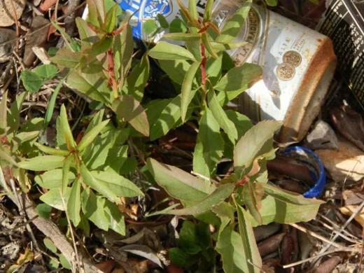 almond tree seedlings growing among the trash at the roadside
