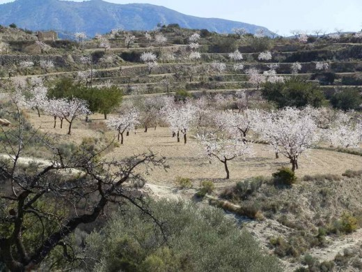 groves of almond trees in blossom