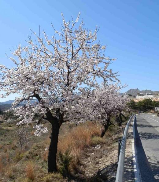 single flowering almond tree