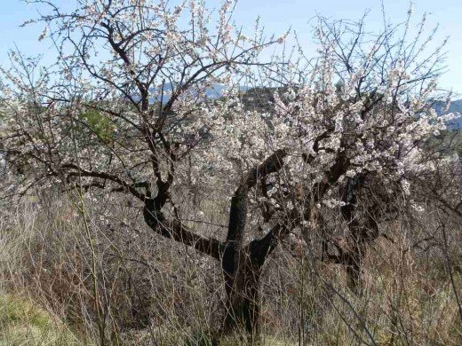 a neglected sweet almond tree in blossom