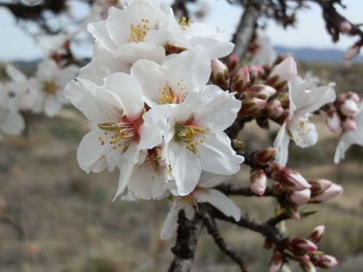 The white blossom of the sweet almond.