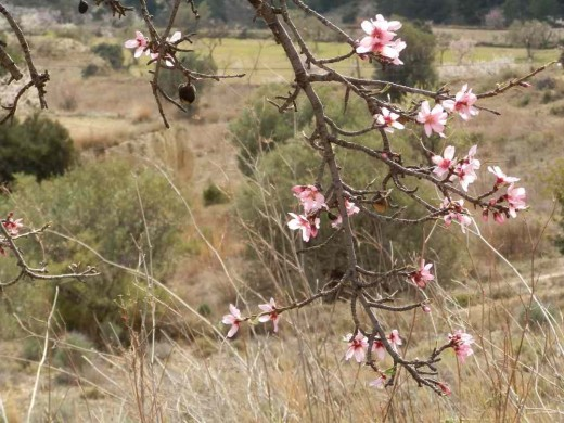 the pink blossom of the bitter almond. Note the almonds from last year left unpicked on the tree