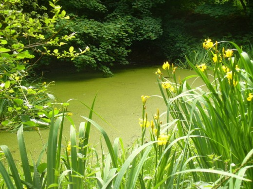 How to remove green pond algae Green fish pond water