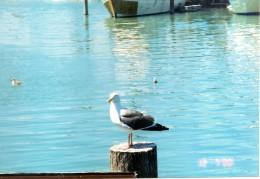 Seagull resting at Fisherman's Wharf