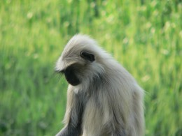 The Indian monkey - Pondering about life and much more.