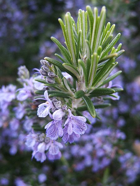 Rosmarinus officinalis - Rosemary in bloom