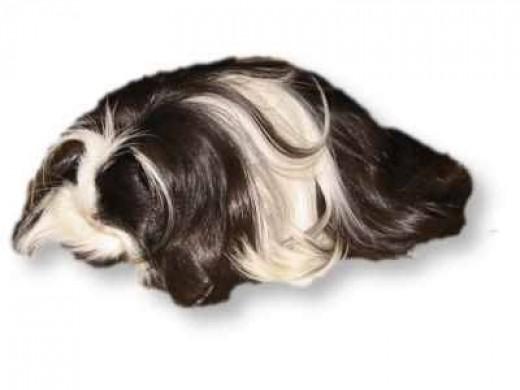 A Coronet Guinea-Pig