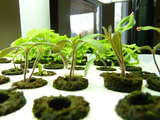 Gently brush your hand across the tops of the seedlings to grow sturdy stems. Here seeds are started in an Aerogarden.
