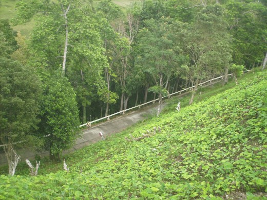 View of the winding road going up to the Chocolate Hills Complex, built in one of the biggest conical hill.