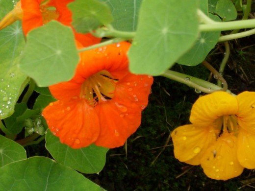 nasturtiums in the rain