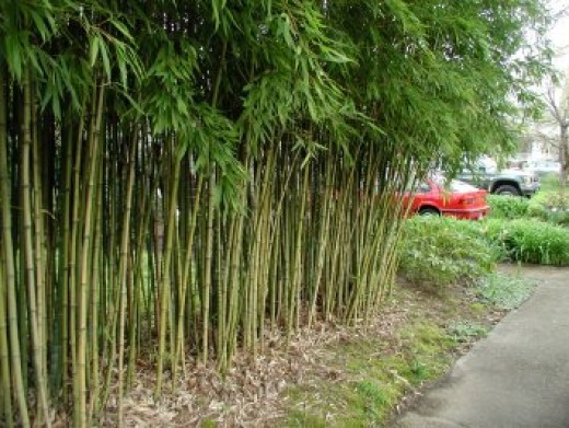 Bamboo - Phyllostachys aurea