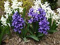 Purple and White Hyacinth