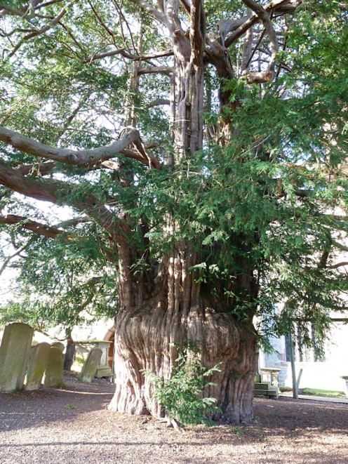The Old Yew Tree St Bartholowmenw's Church