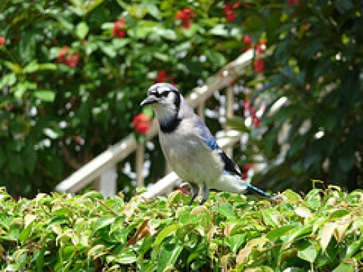 Blue Jay on Trellised Vine